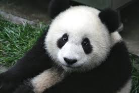 Korkak Panda :)